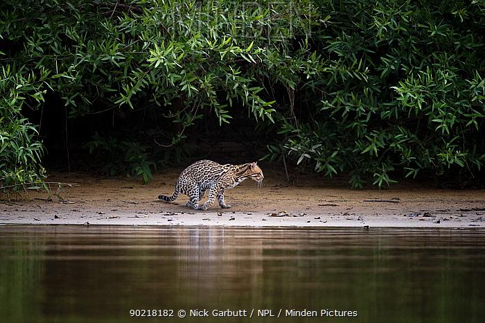 Wild Ocelot (Felis pardalis) on the banks of the Piquiri River (a tributary of Cuiaba River) Northern Pantanal, Brazil September  -  Nick Garbutt/ npl