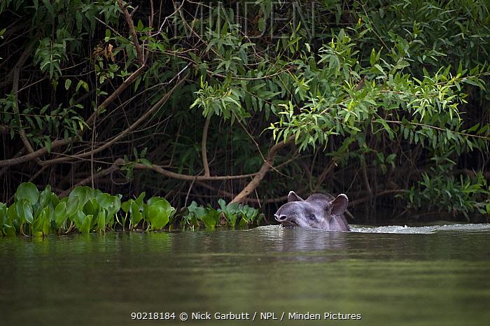 South American, Brazilian Tapir (Tapirus terrestris) swimming across the Piquiri River, northern Pantanal, Brazil September  -  Nick Garbutt/ npl