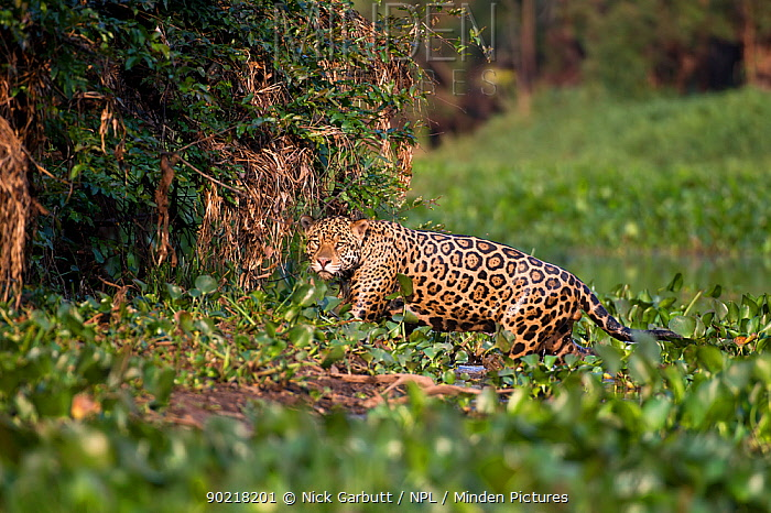 Male Jaguar (Panthera onca palustris) emerging from bed of Water Hyacinths (Eichhornia sp) at the edge of a tributary of Cuiaba River, Northern Pantanal, Brazil September  -  Nick Garbutt/ npl