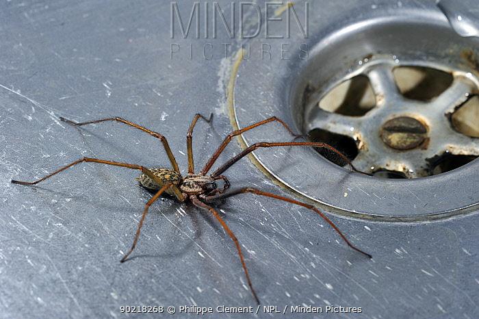 Giant house spider (Tegenaria duellica, gigantea) in kitchen sink next to plug-hole, Belgium  -  Philippe Clement/ npl