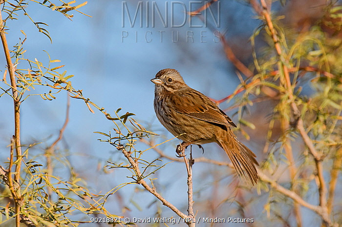 Song Sparrow (Melospiza, Zonotrichia melodia) perched on branch, Northern Miojave Desert, California, USA, May  -  David Welling/ npl