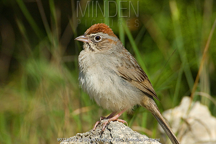 Rufus-crowned Sparrow (Aimophila ruficeps) perched on rock, Texas Hill Country, Texas  -  David Welling/ npl