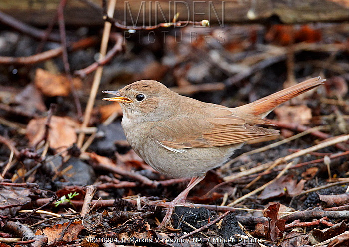 Thrush Nightingale (Luscinia luscinia) on woodland floor, Finland, May  -  Markus Varesvuo/ npl
