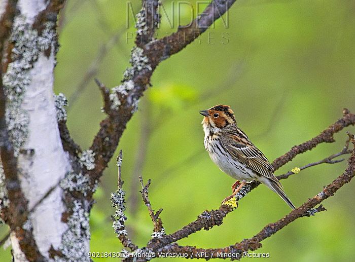 Little Bunting (Emberiza pusilla) male singing, Kuusamo, Finland June  -  Markus Varesvuo/ npl