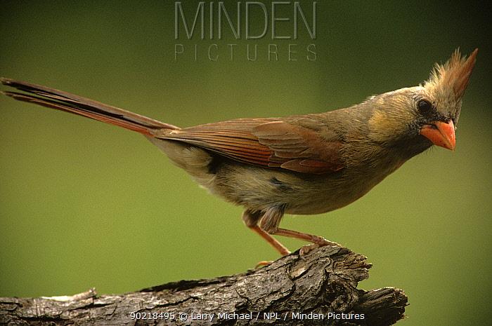 Cardinal (Cardinalis cardinalis) female perched, Wisconsin, USA  -  Larry Michael/ npl