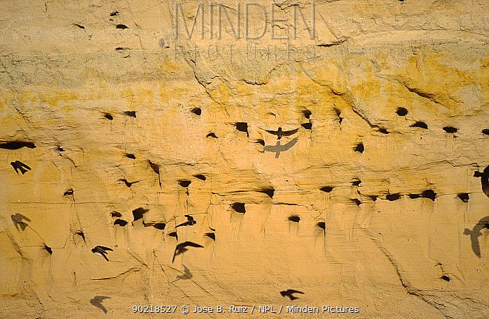 Sand martin (Riparia riparia) nesting colony in river bank, Spain  -  Jose B. Ruiz/ npl