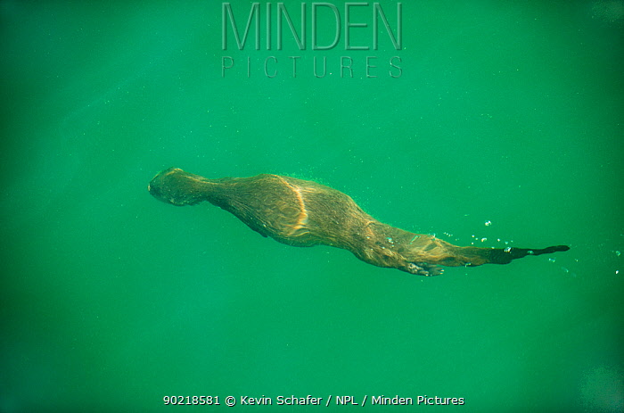 Marine otter (Lontra felina) swimming underwater, Chiloe Island, Chile, Endangered species  -  Kevin Schafer/ npl