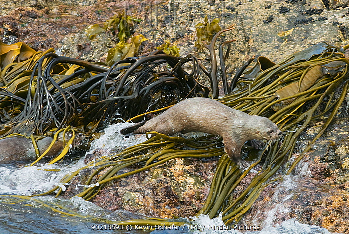 Female Marine otter (Lontra felina) chasing away another otter, Chiloe Island, Chile, Endangered species  -  Kevin Schafer/ npl