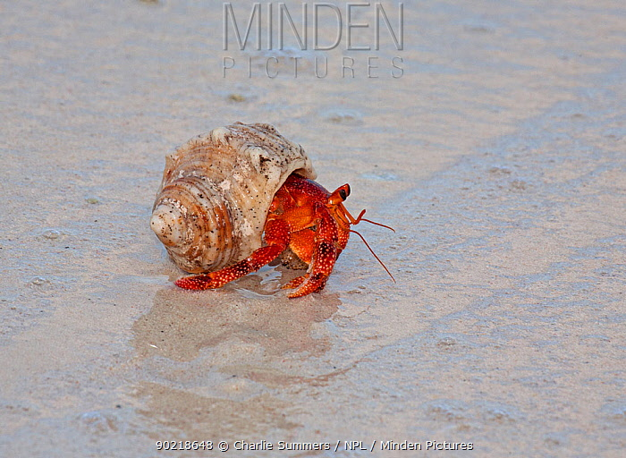 Strawberry land Hermit Crab (Coenobita perlatus) moving across beach, in early morning Cocos-Keeling Island group of Australia  -  Charlie Summers/ npl