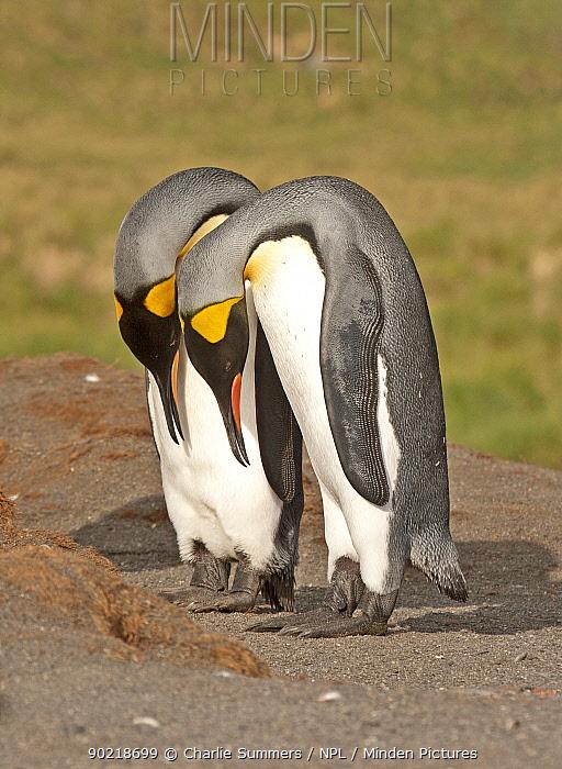 Pair of King Penguins (Aptenodytes patagonicus) in courtship posture, South Georgia  -  Charlie Summers/ npl