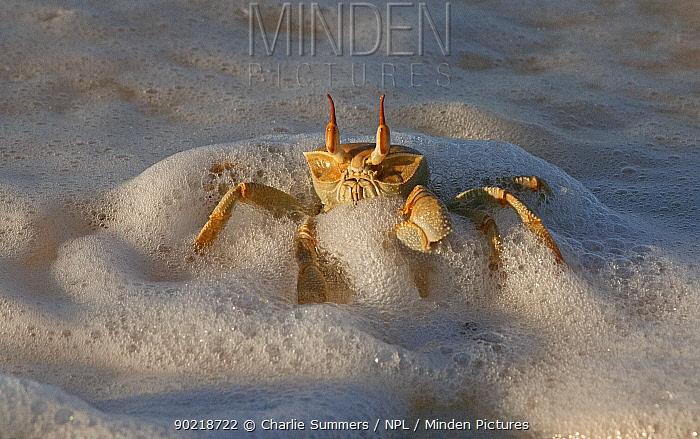 Horn Minden minden pictures stock photos horn eyed ghost crab ocypode