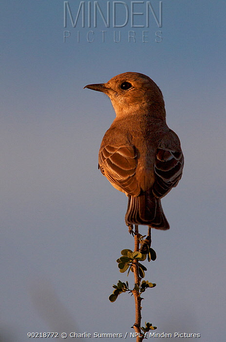 Chat Flycatcher (Bradornis infuscatus) perched in the top of a Central Kalahari, Botswana bush, Southern Africa, May  -  Charlie Summers/ npl