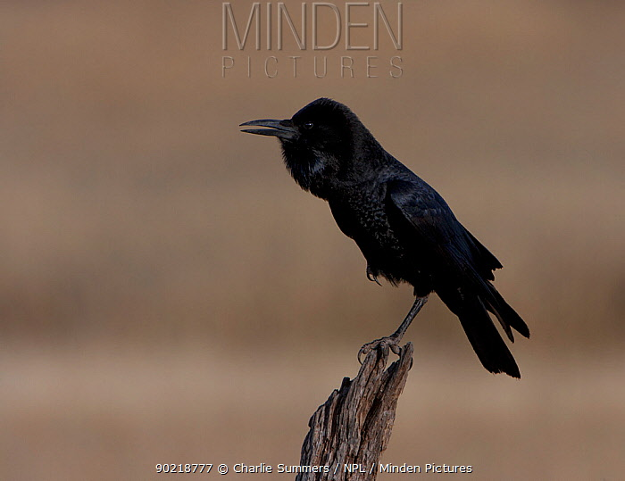 Cape Crow (Corvus capensis) cackling, perched on stump, Kgalagadi TB Park of South Africa, May  -  Charlie Summers/ npl