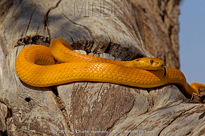 Cape Golden Cobra (Naja nivea) foraging for potential prey in the cracks and crevices of an Acacia tree, Kgalagadi TB Park of South Africa, May  -  Charlie Summers/ npl