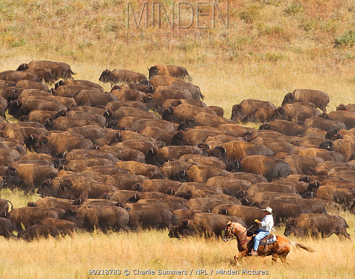 Cowboy working with herd of American Bison (Bison Bison) during the 2010 buffalo roundup in Custer State Park; South Dakota, September 2010  -  Charlie Summers/ npl