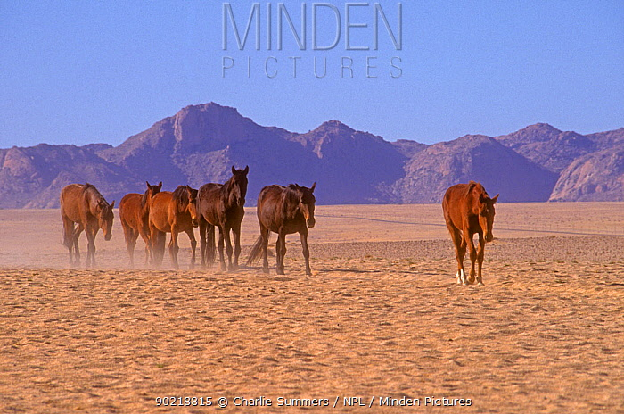Mustang (Equus caballus) herd following the leader in single file as they approach the only water for them in the Namib-Naukluft National Park of Namibia near Garub, Southern Africa  -  Charlie Summers/ npl