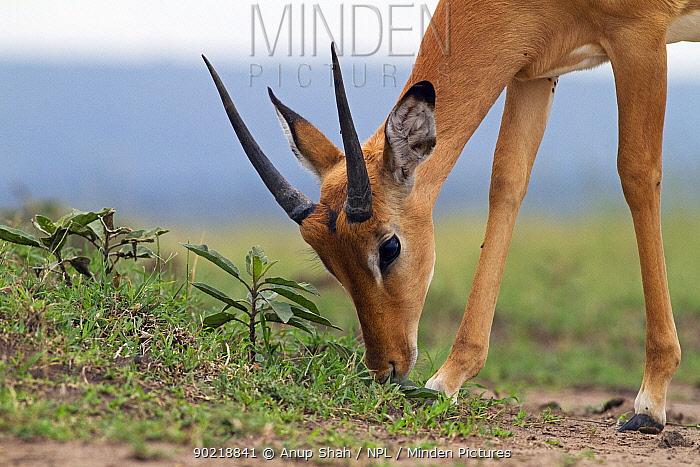 Impala (Aepyceros melampus) juvenile male grazing, Masai Mara National Reserve, Kenya February  -  Anup Shah/ npl