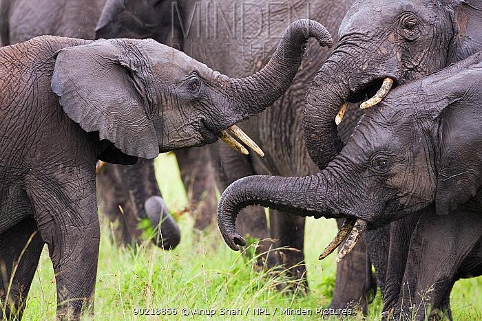 African elephant (Loxodonta africana) sub-adults and calves playing, Masai Mara National Reserve, Kenya March  -  Anup Shah/ npl