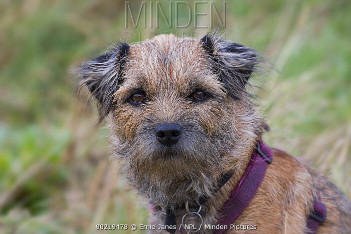Norfolk Terrier, portrait, UK  -  Ernie Janes/ npl