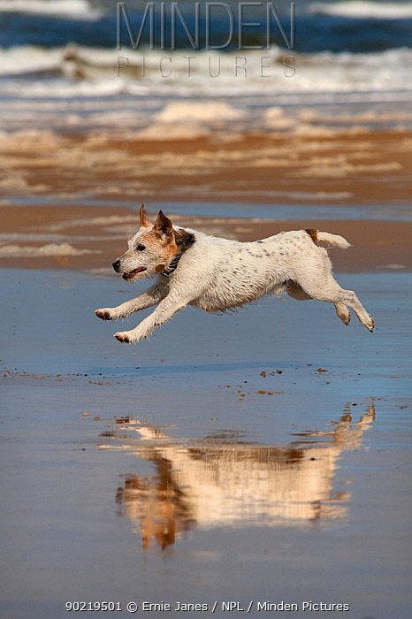 Jack Russell terrier running on beach, with reflection in wet sand, Norfolk, UK  -  Ernie Janes/ npl