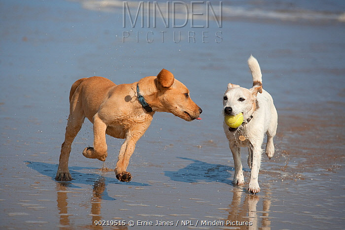 Yellow Labrador retriever puppy and Jack Russell terrier playing on beach, Norfolk, UK, May 2010  -  Ernie Janes/ npl