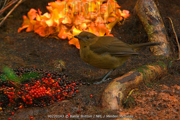 Male Vogelkop bowerbird (Amblyornis inornata) inspects the decorations outside his bower Vogelkop Peninsula, West Papua, Indonesia Picture taken during filming for BBC Life TV Series, September 2008  -  Barrie Britton/ npl