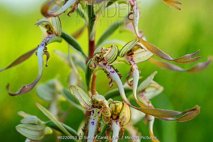 Lizard orchid (Himantoglossum hircinum) close-up of flowering stem, Germany, June  -  Solvin Zankl/ npl