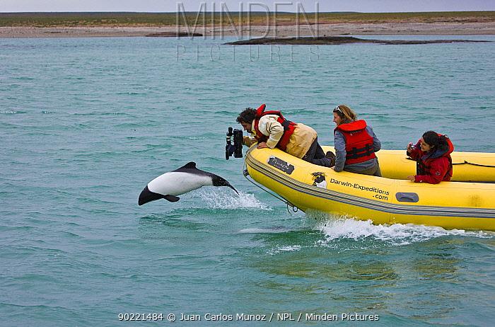 Cameraman filming a Piebald, Commerson's dolphin (Cephalorhynchus commersonii) porpoising Deseado River, Puerto Deseado, Patagonia, Argentina, Nov 2008  -  Juan Carlos Munoz/ npl