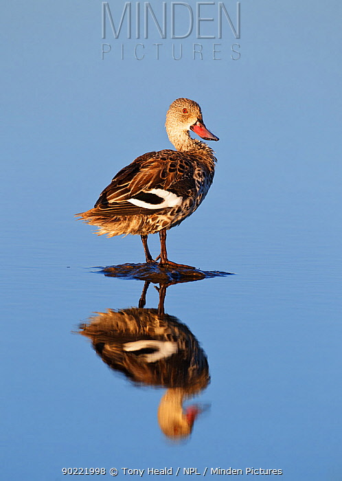 Cape Teal [Anas capensis] standing on stone in water, reflection, Etosha National Park, Namibia, August  -  Tony Heald/ npl