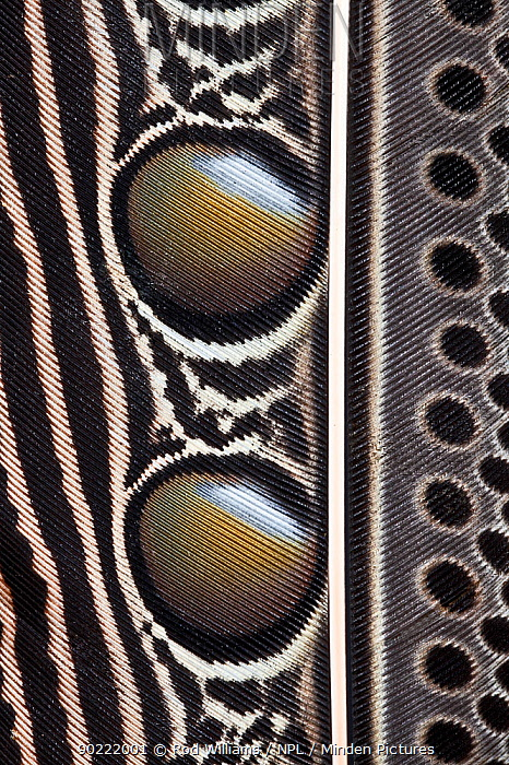 Detail of feather pattern of the Great Argus pheasant (Argusianus argus) captive, from SE Asia  -  Rod Williams/ npl