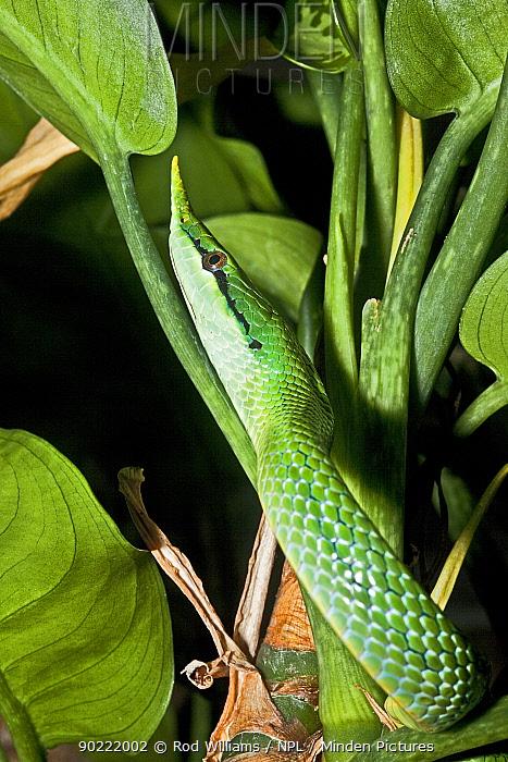 Vietnamese long-nosed snake (Rhynchopis boulengeri) captive, from N Vietnam, S China  -  Rod Williams/ npl