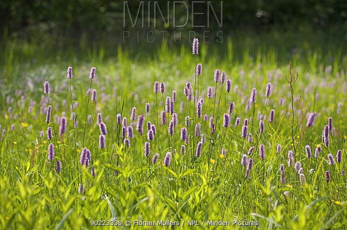 Common bistort (Polygonum bistorta) flowers, Berlin, Germany  -  Florian Mollers/ npl