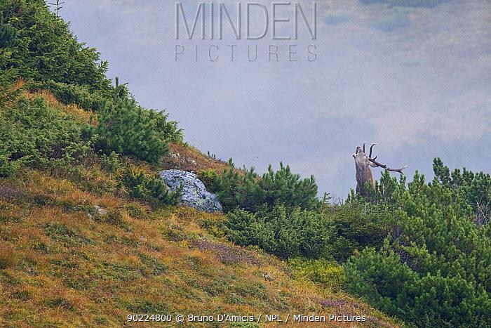 Red Deer (Cervus elaphus) stag bellowing among Dwarf Pine (Pinus mugo) on mountain slope Western Tatras, Slovakia, September  -  Bruno D'amicis/ npl