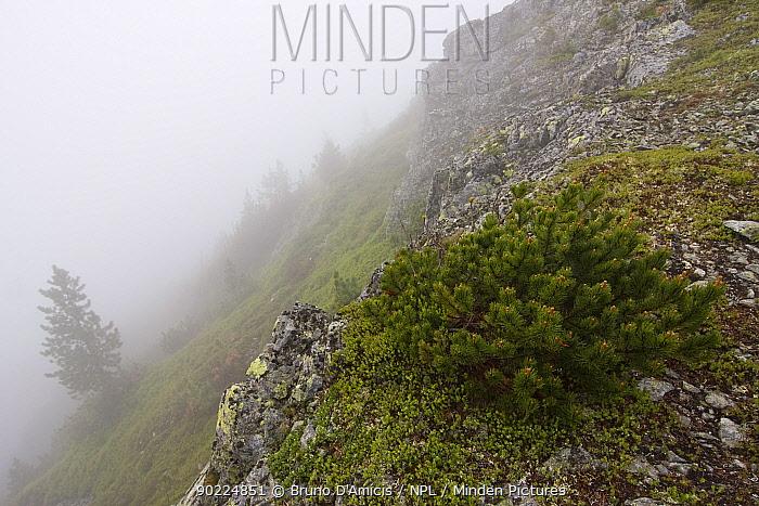 Dwarf Pine (Pinus mugo) and Arolla Pine (Pinus cembra) on mountain slope in fog Westeren Tatras, Slovakia, June  -  Bruno D'amicis/ npl