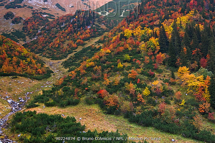 Coloured Rowan (Sorbus aucuparia) trees among Dwarf Pine (Pinus mugo) and Spruce (Picea abies) in a mountain glen Western Tatras, Slovakia, September  -  Bruno D'amicis/ npl