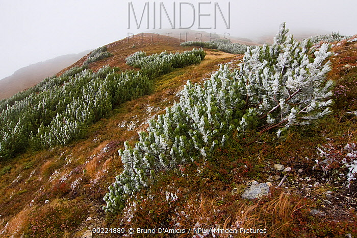 First snow on Dwarf Pines (Pinus mugo) on mountain ridge Western Tatras, Slovakia, September  -  Bruno D'amicis/ npl