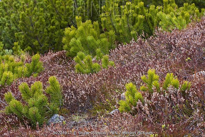 Dwarf Pine (Pinus mugo) saplings growing among Heather (Calluna vulgaris) Western Tatras, Slovakia, May  -  Bruno D'amicis/ npl