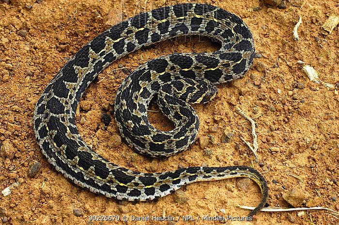 Lowland Swamp Viper, Eyebrow Viper (Proatheris superciliaris) Captive Endemic to Tanzania, Malawi and Mozambique  -  Daniel Heuclin/ npl