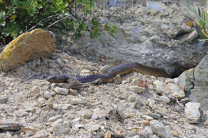 Cape Cobra (Naja nivea) emerging from burrow De Hoop Nature Reserve, Western Cape, South Africa, February  -  Tony Phelps/ npl