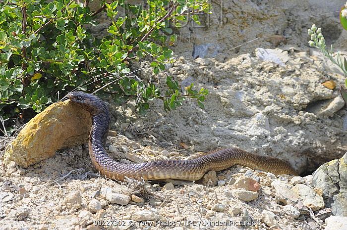 Cape Cobra (Naja nivea) basking outside burrow De Hoop Nature Reserve, Western Cape, South Africa, February  -  Tony Phelps/ npl