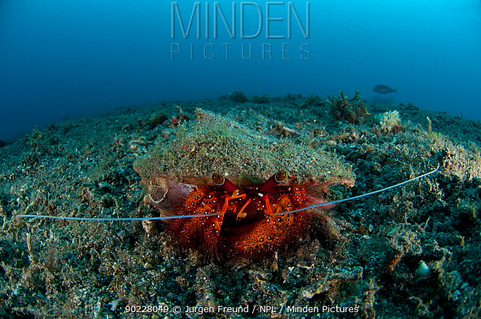 Red hermit crab (Dardanus megistos) on sandy bottom Lembeh Strait, Sulawesi, Indonesia  -  Jurgen Freund/ npl