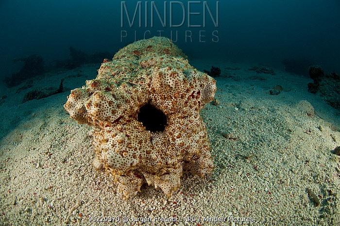 Anal hole of Sea cucumber (Thelenota anax) Sipadan, Malaysia  -  Jurgen Freund/ npl