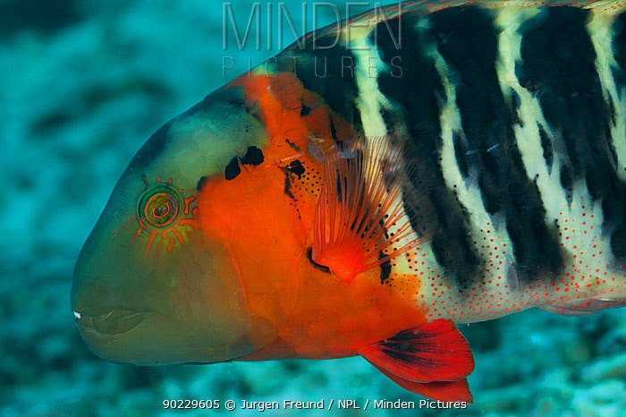 Redbreasted, Red banded wrasse (Cheilinus fasciatus) portrait Misool, Raja Ampat, West Papua, Indonesia  -  Jurgen Freund/ npl