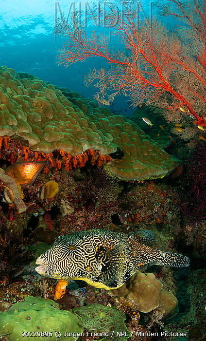 Giant, Map pufferfish (Arothron mappa) swimming in the reef Misool, Raja Ampat, West Papua, Indonesia, January  -  Jurgen Freund/ npl