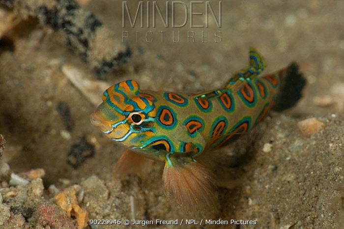 Mandarinfish, Picturesque dragonet (Synchiropus picturatus) resting on its fins North Raja Ampat, West Papua, Indonesia,  -  Jurgen Freund/ npl