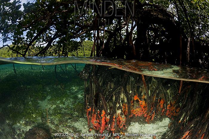 Split-level shot of Tube corals (Tubastrea sp) encrusted on mangrove roots in the shallows North Raja Ampat, West Papua, Indonesia, February 2010  -  Jurgen Freund/ npl