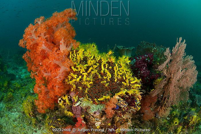 A carpet of Yellow sea cucumbers (Colochirus robustus) in the reef North Raja Ampat, West Papua, Indonesia, February  -  Jurgen Freund/ npl