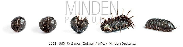 Pill woodlouse (Armadillidium vulgare) uncurling sequence on white background  -  Simon Colmer/ npl