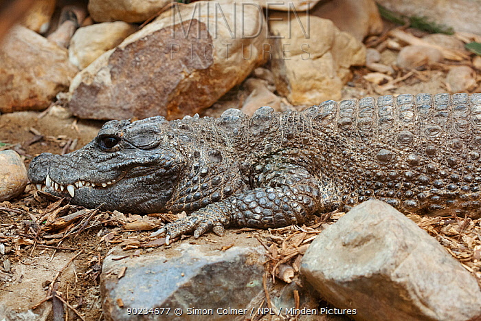 West African Dwarf Crocodile (Osteolaemus tetraspis) Captive  -  Simon Colmer/ npl