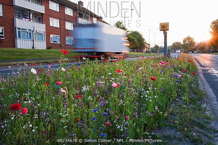 Wildflowers, including Poppies (Papaver) flowering, planted in central reservation, road verge, Brighton, Sussex, UK, June 2010  -  Simon Colmer/ npl